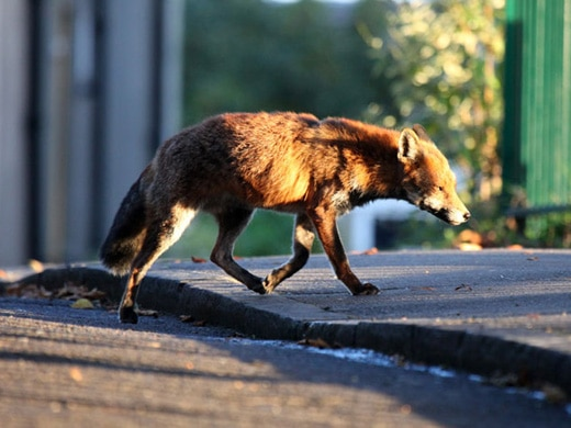 A Short History of the Urban Fox