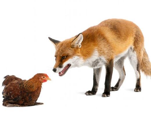 Do Foxes Kill for Pleasure?
