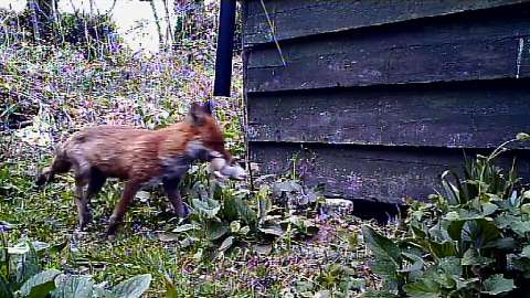 Foxes Live: Update Wednesday 2nd May