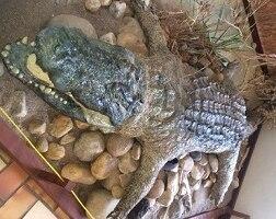 a stuffed crocodile in a museum