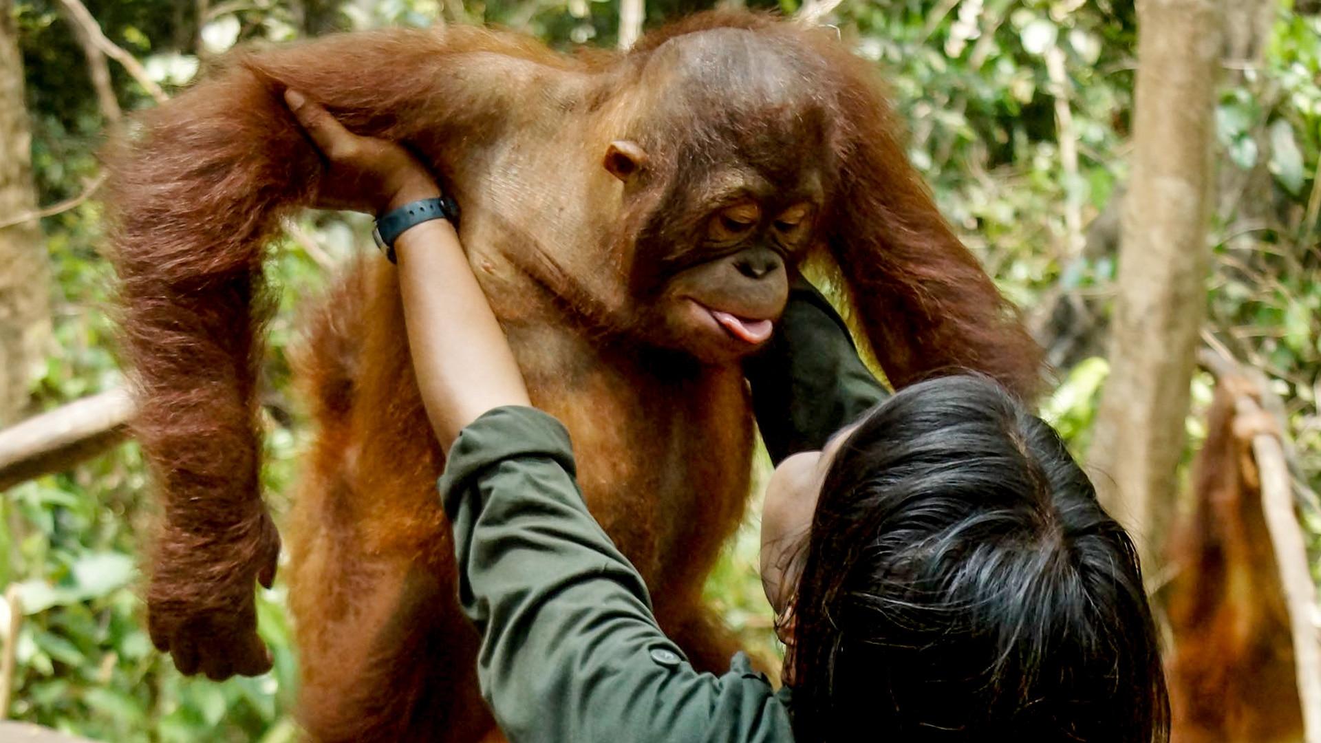 Orangutan Jungle School All 4