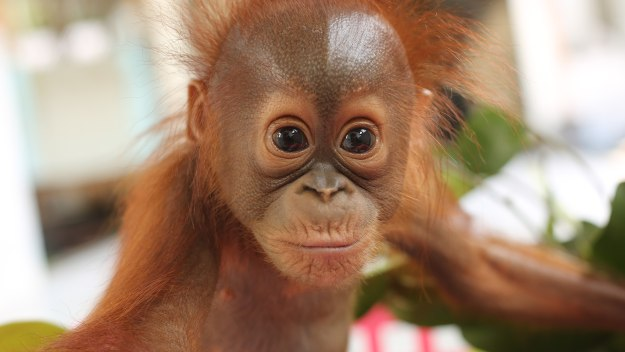 Orangutan Jungle School - Orangutan Jungle School